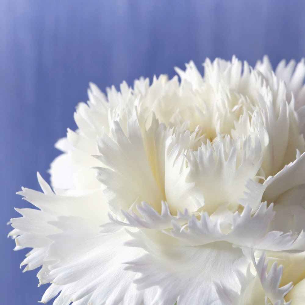 Carnation Fragrance Oil