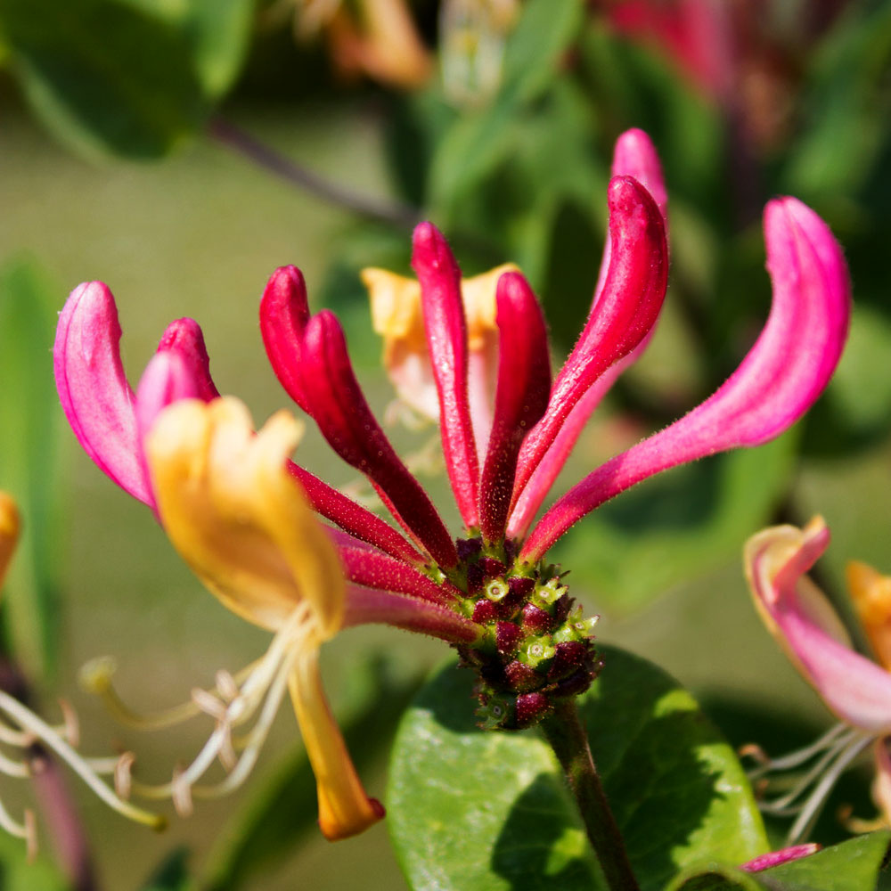 Heavenly Honeysuckle Fragrance Oil