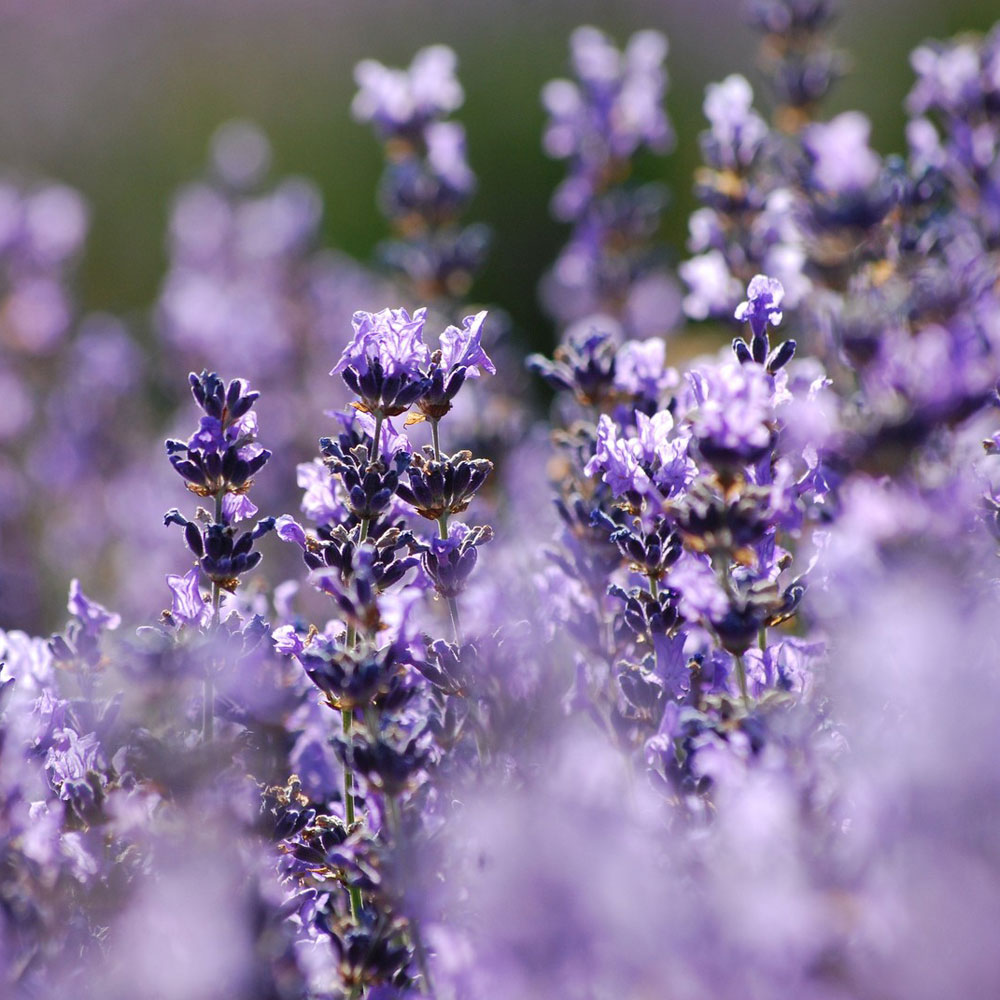 Hungarian Lavender Essential Oil