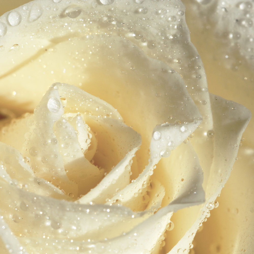 White Rose Fragrance Oil