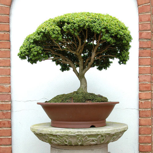 Bonsai Fragrance Oil
