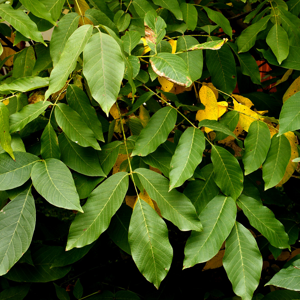 Balsam Peru Essential Oil