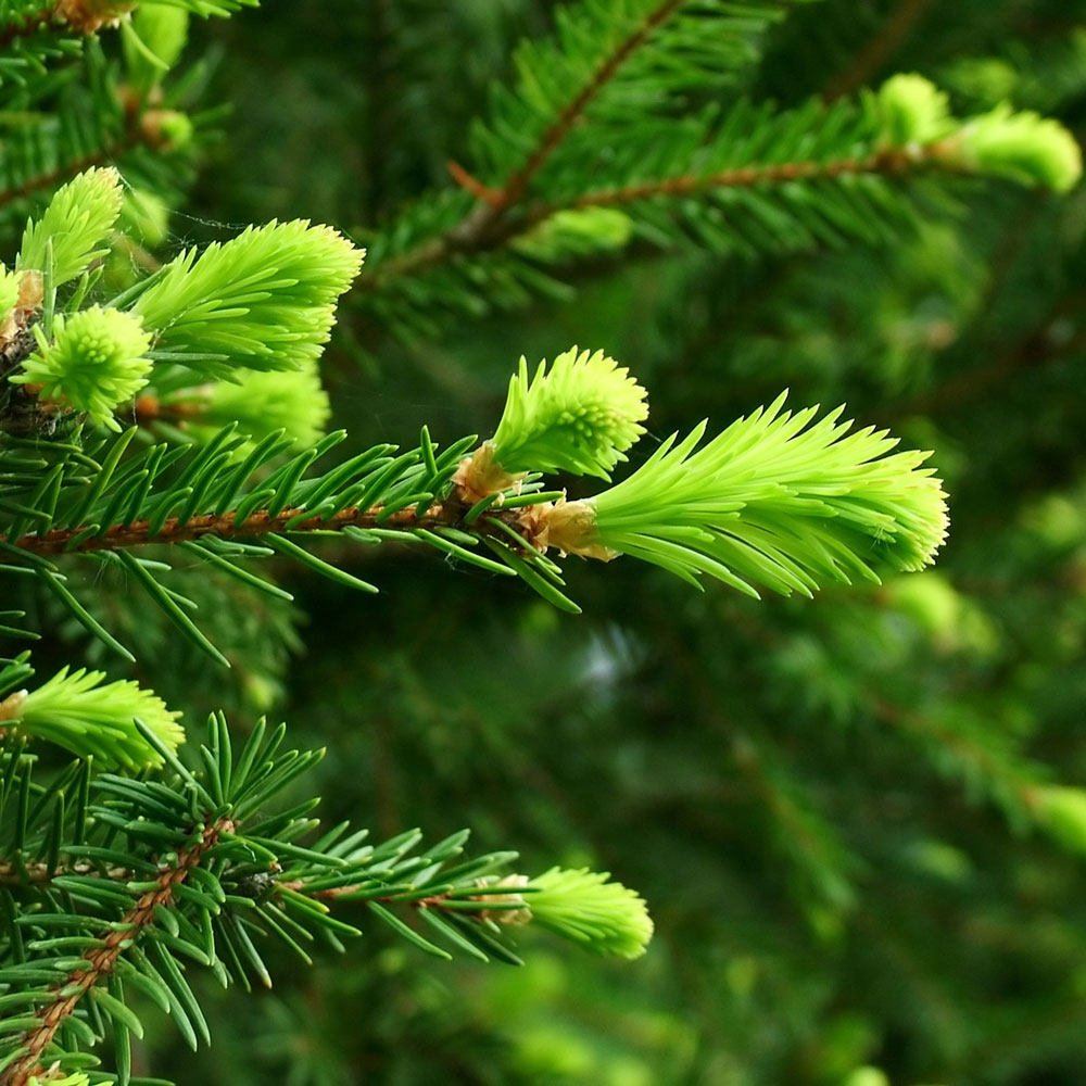 Fir Needle Essential Oil, Siberian