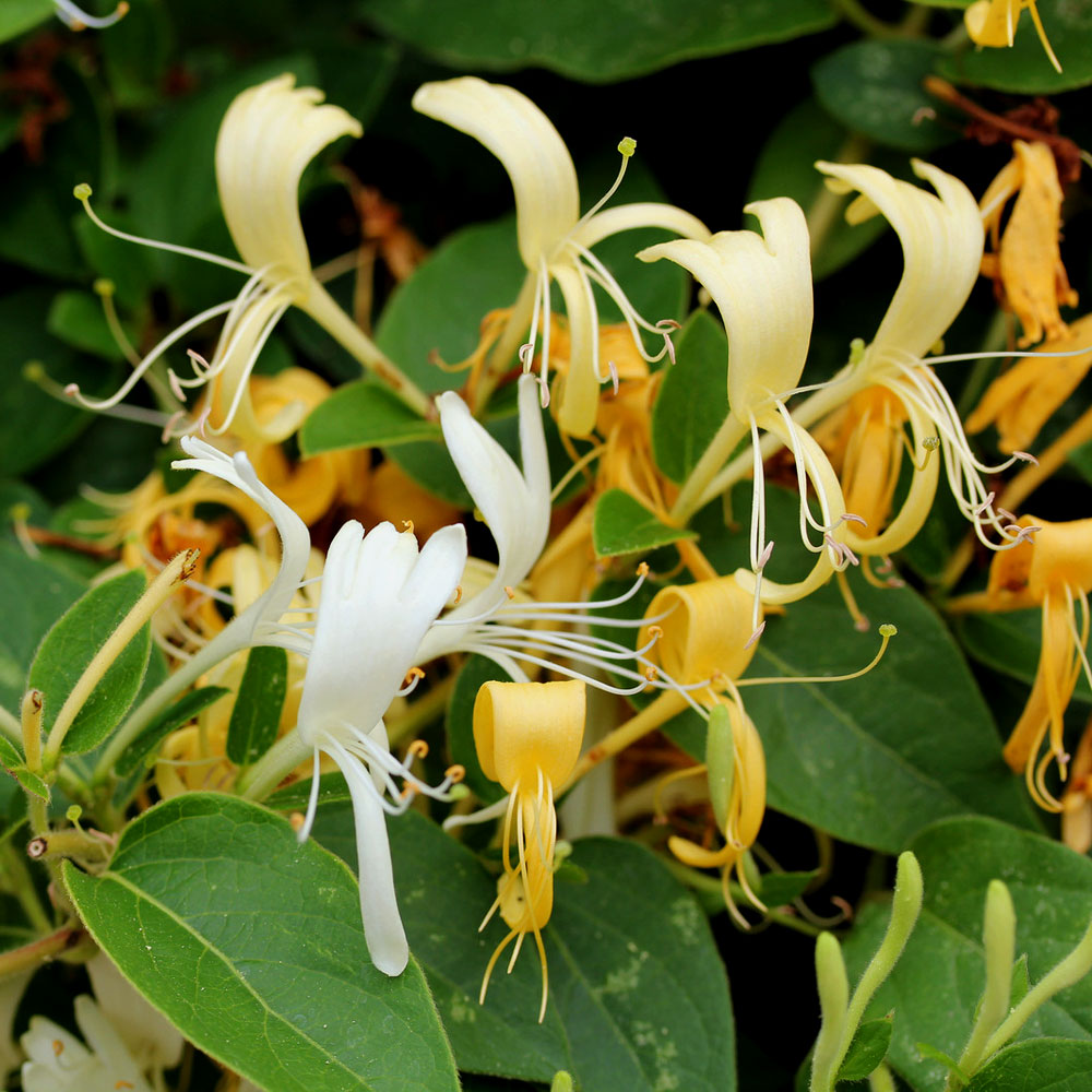 Honeysuckle Surplus Fragrance Oil