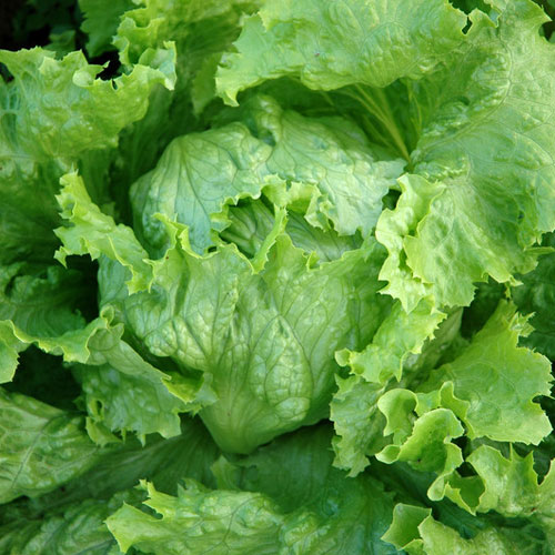 DISCONTINUED - Lettuce Fragrance Oil
