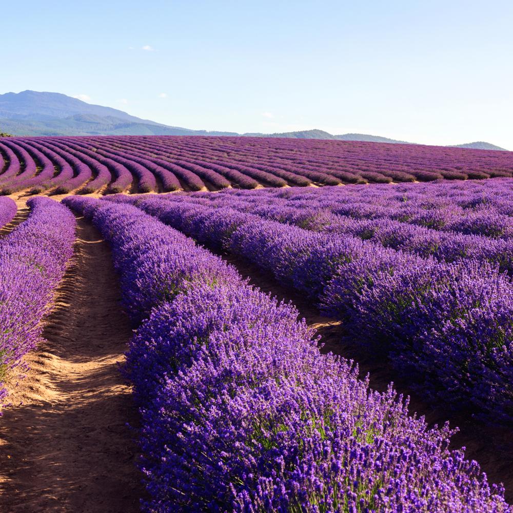 Organic Bulgarian Lavender Essential Oil