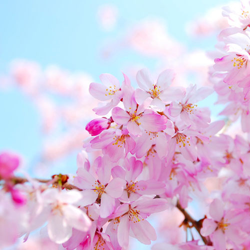 Cherry blossom fragrance oil Cherry blossom pictures