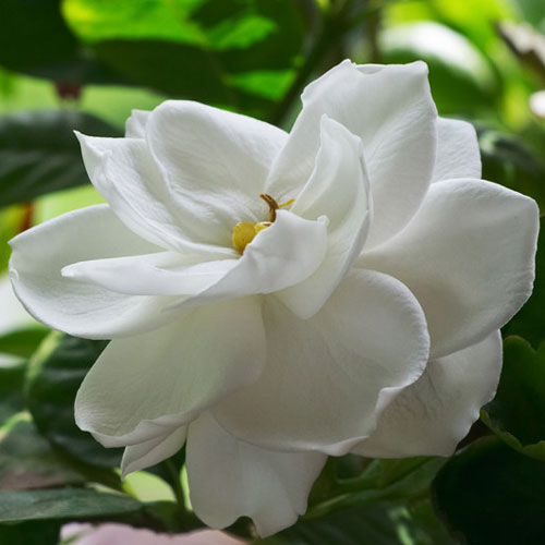 Gardenia Cybilla Fragrance Oil