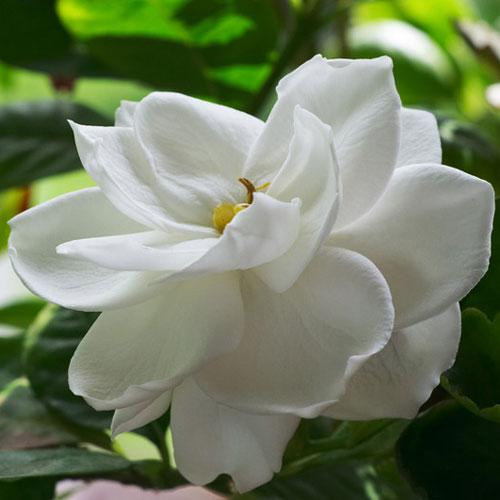 Gardenia Cybilla Fragrance Oil