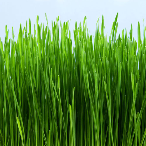 Grass Stain Fragrance Oil