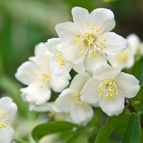 Jasmine Dreams Fragrance Oil