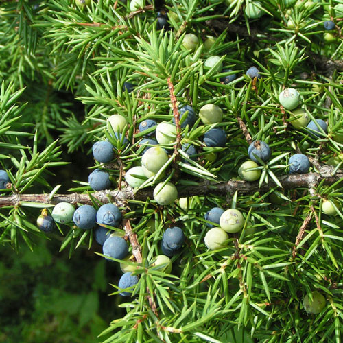 DISCONTINUED - Juniper Breeze Cybilla Fragrance Oil