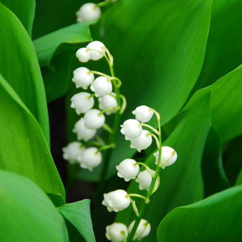 Lily Of The Valley Cybilla Fragrance Oil